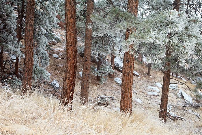 Boulder, Colorado, Flagstaff Mountain, Open Space, Ponderosa Pines, Snow, OSMP, photo