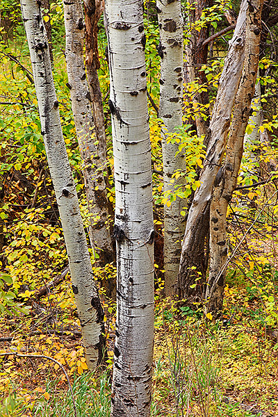 Boulder,Colorado,Open Space,Autumn,Aspens,trees, photo