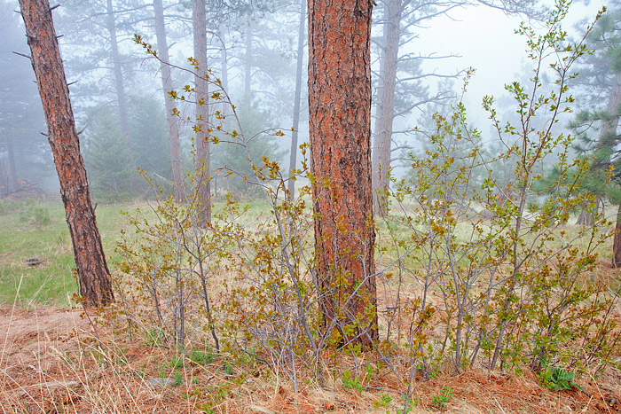Boulder, Colorado, Flagstaff Mountain, Ponderosa's, Fog, Spring, Open Space, OSMP, photo