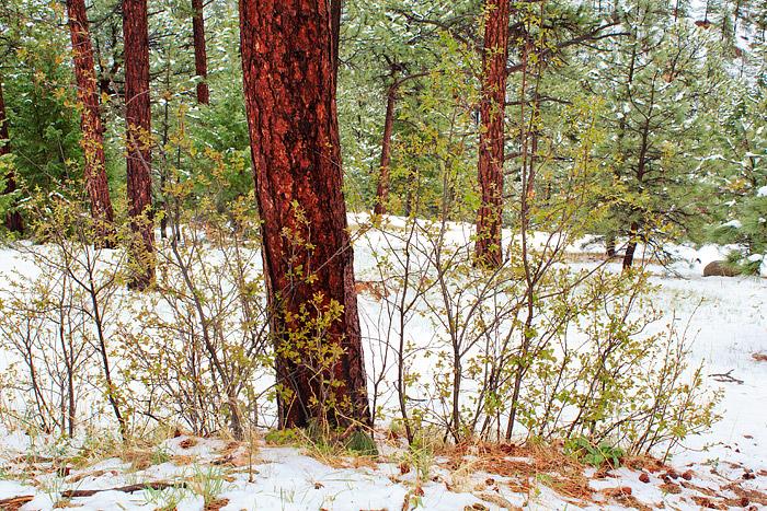 Boulder, Colorado, Flagstaff Mountain, Ponderosa Pines, Snow, Spring, Open Space, OSMP, photo