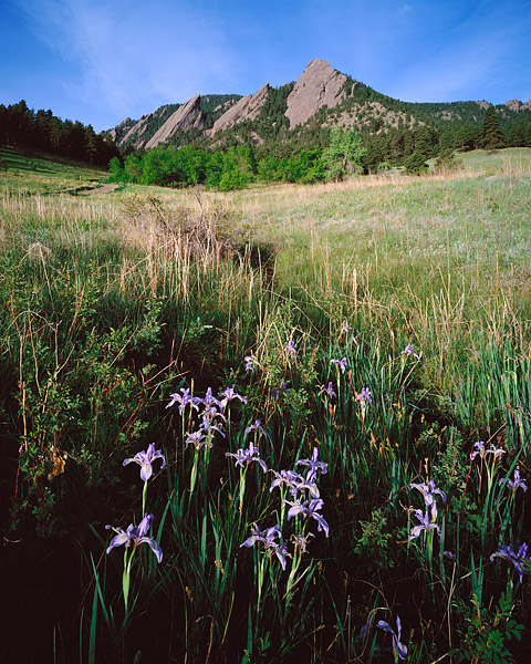Wild Iris grow along the base of the Flatirons. These Wild Iris grow in a small drainage each spring in the Chautauqua park meadow...
