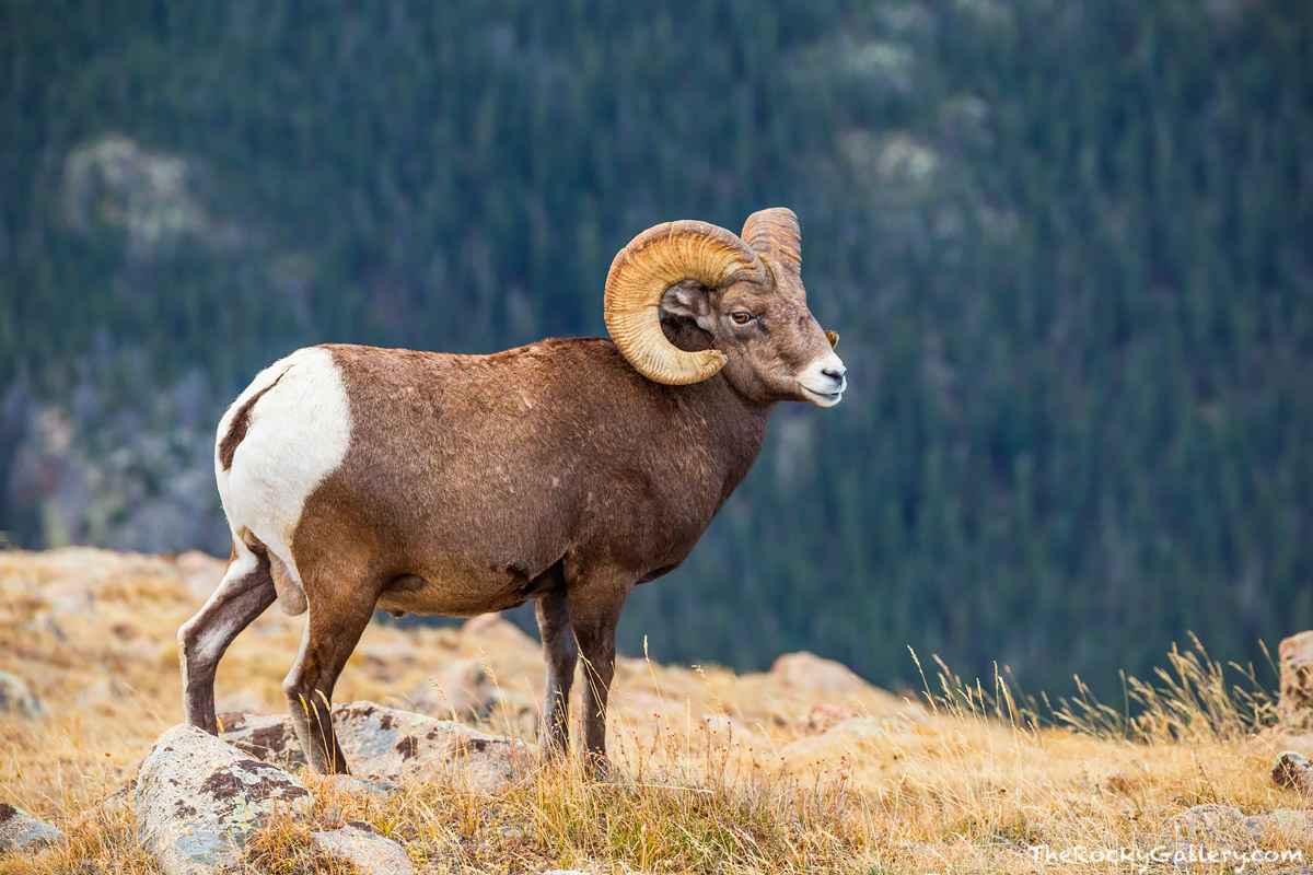 Big Horn Sheep,Ram,Forest Canyon,Timberline,Trail Ridge Road,Estes Park,Big Thomspon River,Wildlife,Photography,Colorado,RMNP,Rocky Mountain National Park,October, photo