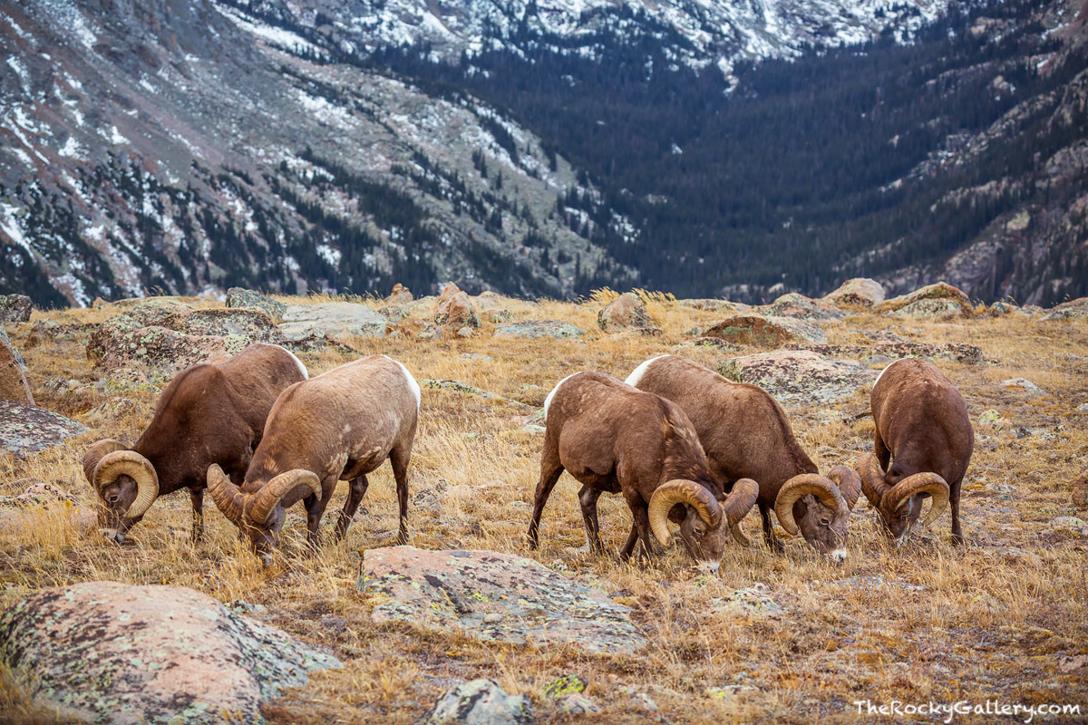 Forest Canyon,Hayden Gorge,RMNP,Colorado,Big Horn Sheep,Rams,Bachelor Group,Timberline,Rocky Mountain National Park,Wildlife,Photography,Landscape,October,fall,autumn,Estes Park,Trail Ridge Road, photo