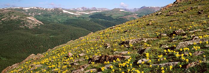 Alpine Sunflowers line the tundra above treeline on Trail Ridge Road in Rocky Mountain National Park. Alpine Sunflowers are common...
