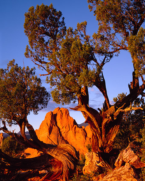 Garden of the Gods, Colorado Springs, One Seed Junipers, Sunrise, Large Format, photo