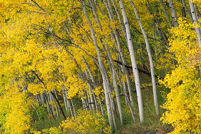 Aspens atop of Gore Pass show of there splendor on this fall day