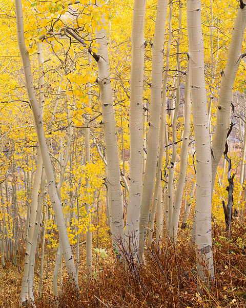Fall Aspens along Gothic Road. This photograph was taken between Mt. Crested Butte and the small town of Gothic. As is typical...