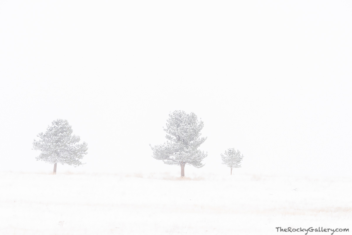 Greenbelt Plateau, OSMP,Open Space and Mountain Parks,Boulder,Colorado,Landscape,Photography,Trees,Blizzard,Snow,Dramatic,Three,November,Highway 93,trailhead,Ponderosa Pines, photo