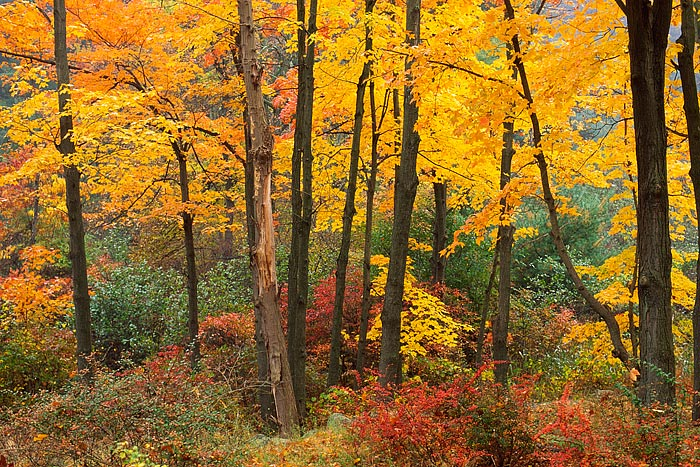 Sugar Maples and underbrush turn a bright orange and red as fall is in full swing in the Hudson River Valley. Harriman State...