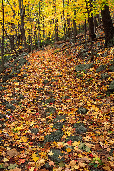 Fall leaves cover the Trail leading towards Tioratti Falls in Harriman State Park. Fall color in this part of the park was at...