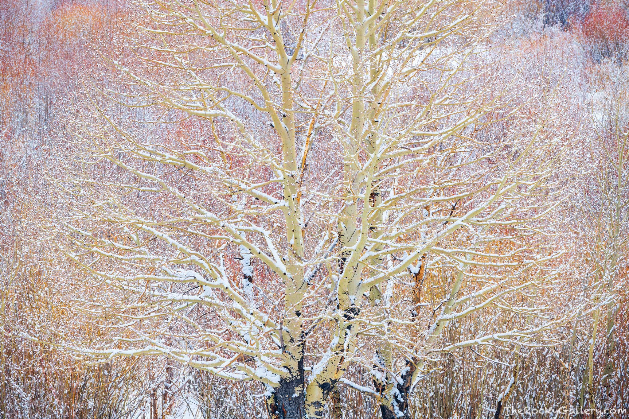 Snow falls on aspen and willows in Hollowell Park on a spring day in April. While aspen trees are glamorized from their beautiful...