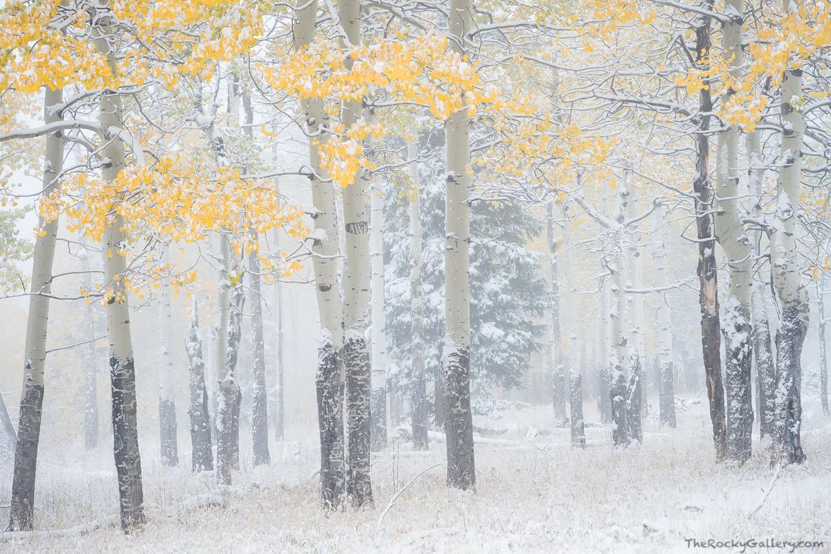 Aspens,Fall,RMNP,Horseshoe Park,Snow,October,Winter,Fall River,Endovalley,Rocky Mountain National Park,Colorado,Landscape,Photography, photo