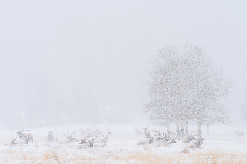Elk,Bull,RMNP,Rocky Mountain National Park,Colorado,Horseshoe Park,Snow,White,February,Meadow,Wildlife,Landscape,Photography,Estes Park, photo