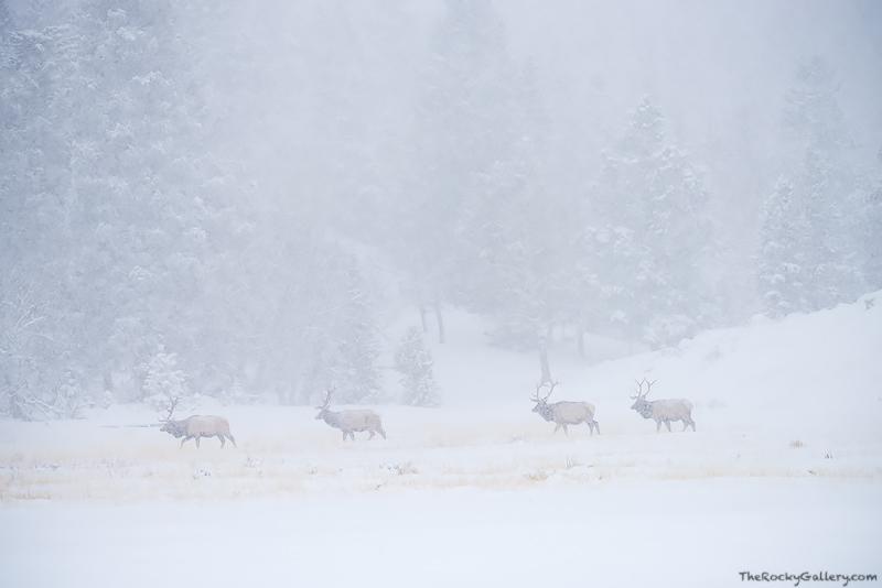 Elk,Horseshoe Park,Rocky Mountain National Park,Bull,Estes Park,Fall River,Colorado,Snow,Winter,RMNP,Fall,Rut,Winter,February,Estes Park,RMNP,Fall River Road,Landscape,Photography , photo
