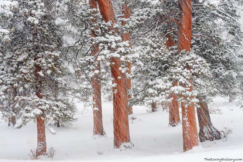 Horseshoe Park,Winter,Snow,Trees,Pines,Ponderosa,Rocky Mountain National Park,Colorado,RMNP,Estes Park,February,landscape,photography, photo