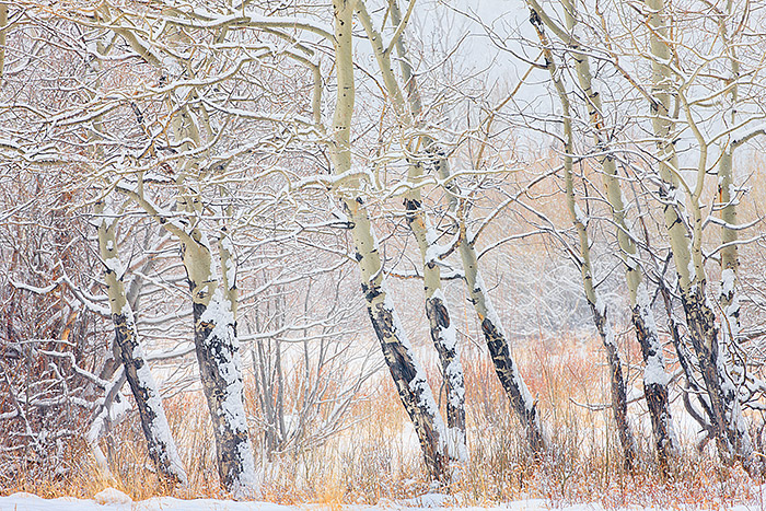 A stand of aspen trees in Horseshoe Park stand tall during a powerful winter snowstorm. Snow is falling hard on the branches...
