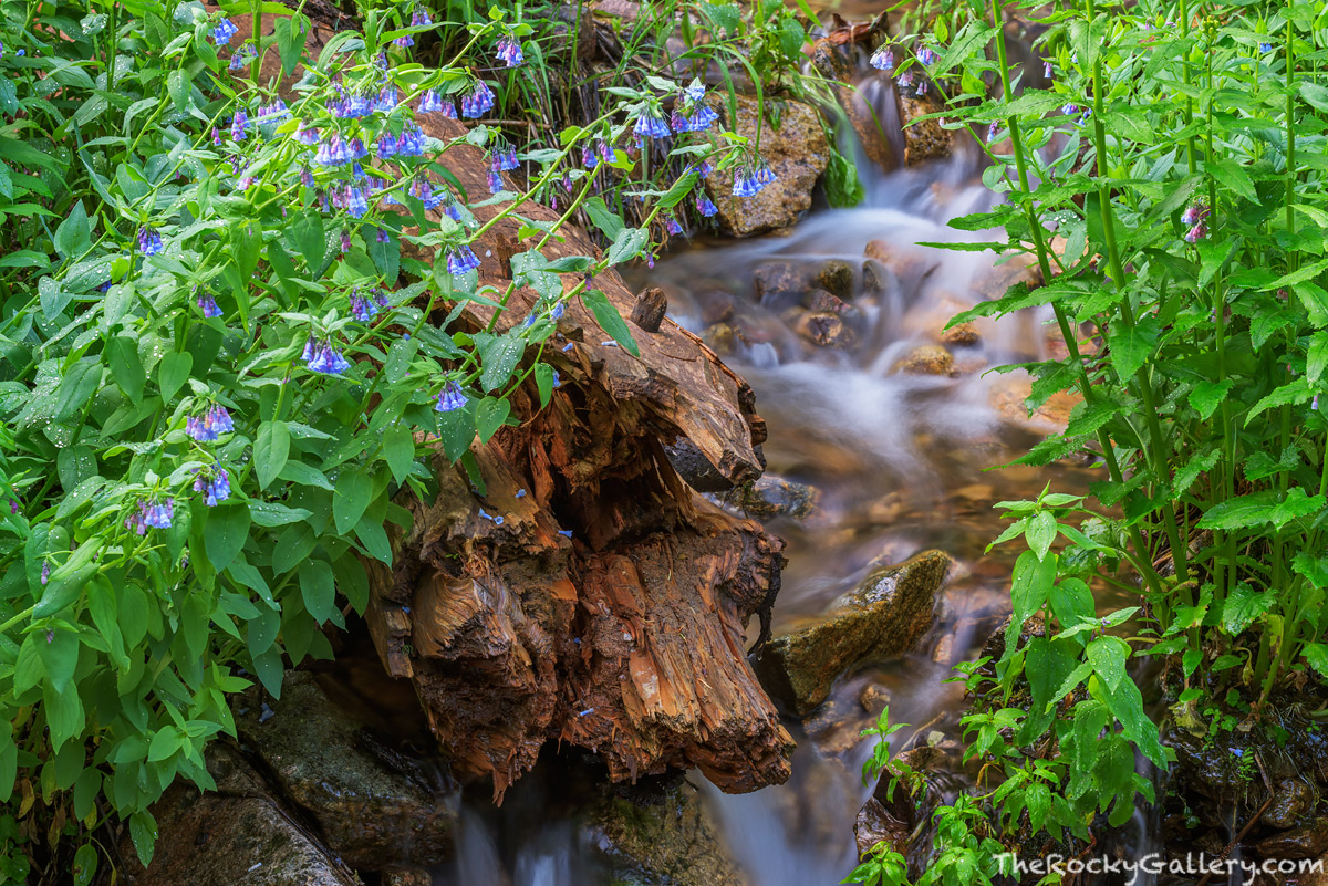 Icy Brook,Glacier Gorge,Glacier Gorge Trailhead,Wildflowers,Bear Lake Road,Estes Park,RMNP,Rocky Mountain National Park,Colorado,Landscape,Photography,July,Mountain Bluebells,Loch Vale,The Loch, photo