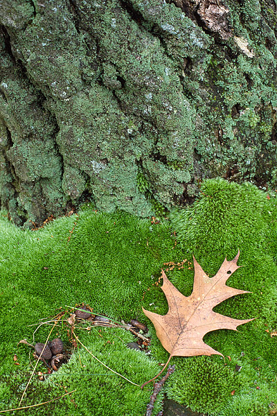A Pin Oak Leaf lies at the base of the tree it once called home. Moss and Lichen coats the base of this Pin Oak found in a grove...
