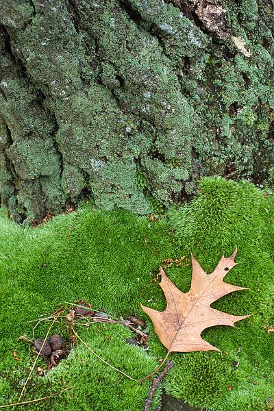 Pin Oak, Bear Mountain State Park, Hudson River, Iona Island, Highlands, Tidal Marsh, photo