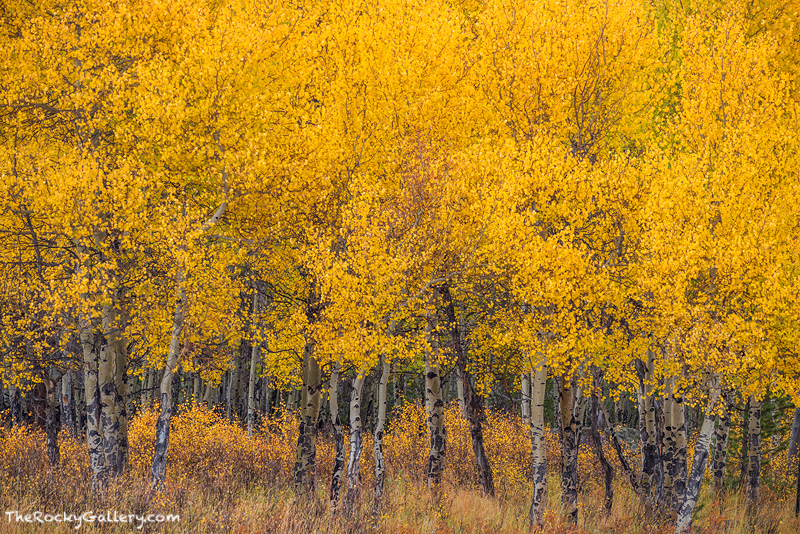 A brilliant display of golden aspens put on quite a display near the enterance to the west side of Rocky Mountain National Park...