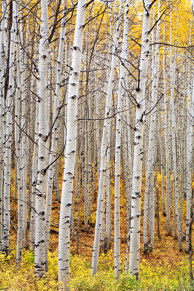 Kebler Pass, Aspens, Fall, Colorado, Crested Butte, photo