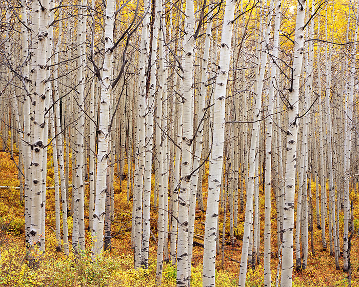 Fall, Aspens, Kebler Pass, Crested Butte, Colorado, photo