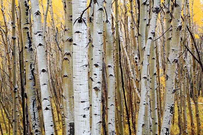 Crested Butte, Colorado, Aspens, Fall Color, Kebler Pass, photo