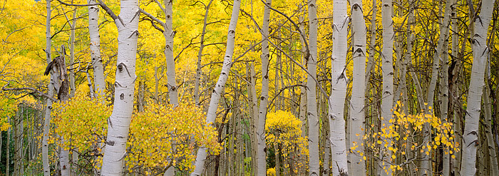Kebler Pass, Fall Color, Panoramic, Aspens, Crested Butte, Forest, photo