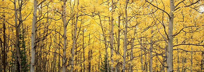 Colorado, Crested Butte, Kebler Pass, Aspens, Fall, photo