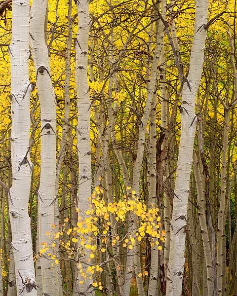 Kebler Pass, Crested Butte, Colorado, Fall, Aspen, photo