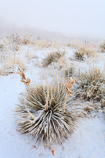 Snow coated Yuccas and fog. These Yuccas grow on many of the western slopes of the Front Range Foothills.