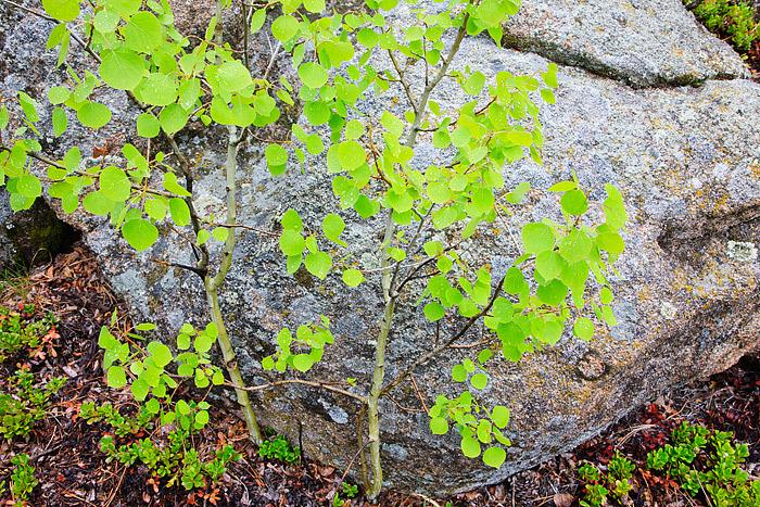 Lumpy Ridge,Aspens,Spring,Colorado,Rocky Mountain National Park,rain,vivid, photo