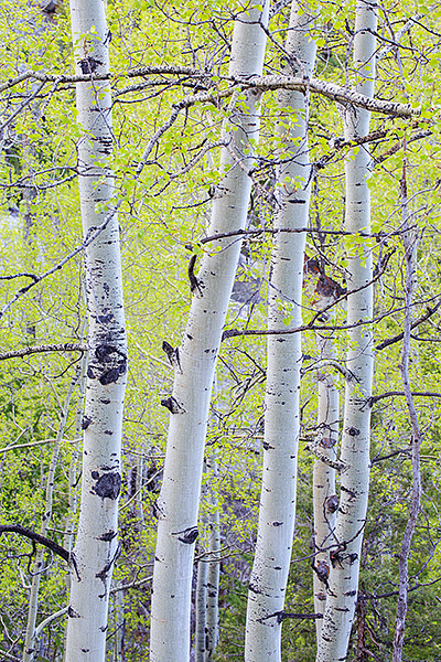 Lumpy Ridge,Aspens,Spring,Rocky Mountain National Park,Colorado, photo