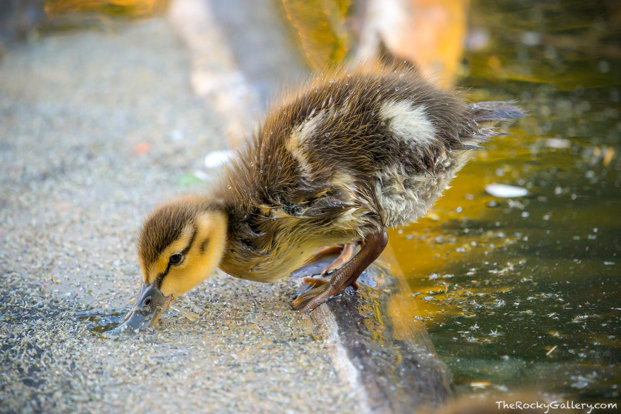 A Mallard Duckling enjoys breakfast along the shore of Dream Lake on a July morning. Photographers were lined up along the shoreline...