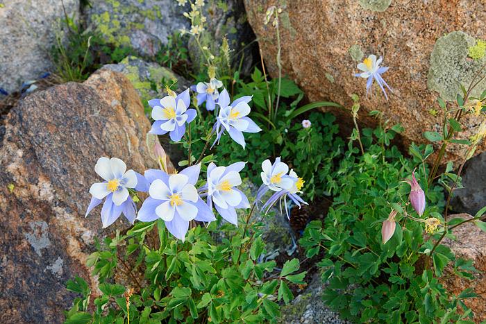 Rocky Mountain National Park, Colorado, Columbines, Marigold Ponds, Summer, photo