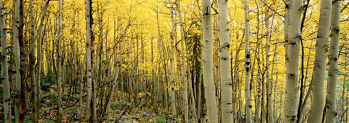 Fall Aspens shimmer on a cool, cloudy day at the Maroon Bells just outside of Aspen, Colorado. These aspens are well photographed...