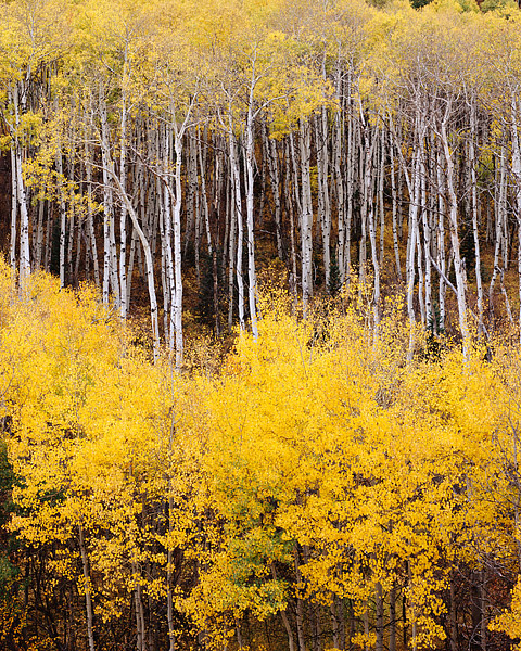 Golden Aspen tree's line the area around McClure Pass in central Colorado. These Aspen trees have turned from green to a brilliant...