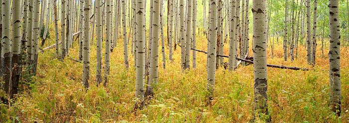 McClure Pass, Aspens, Fall Color, Aspen, Crested Butte, Redstone, Marble, photo