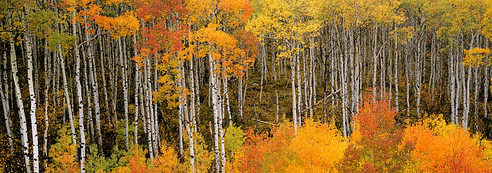 Vivid Fall Color along McClure Pass. Typically Aspen trees in Colorado will turn yellow during fall. This group of trees at the...