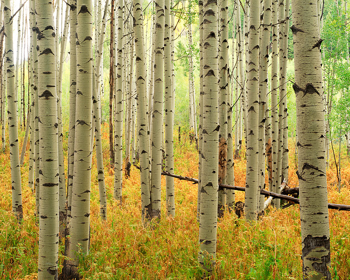 Ferns and Aspen Trees display their Autumn colors on the top of McClure Pass, Colorado. McClure pass has some of Colorado's best...