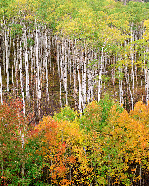 Colorado, Fall Color, Aspen, Marble, McClure Pass, photo