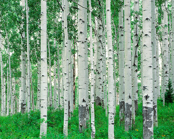 The top of Kebler Pass just outside of Crested Butte, Colorado is host to beautiful groves of Aspen Trees. Colorado's largest...
