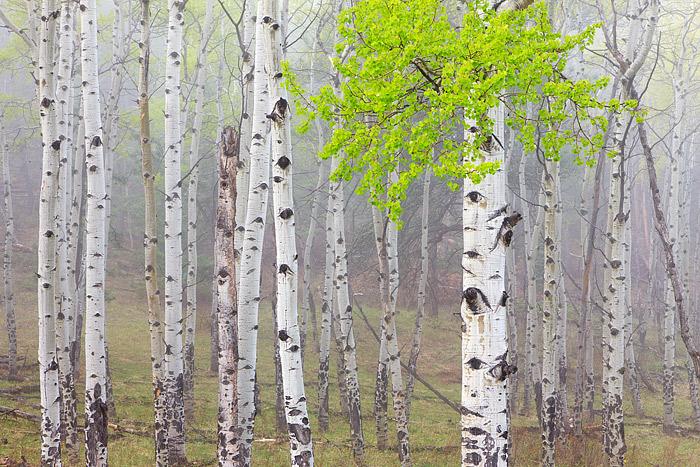 Rocky Mountain National Park, Colorado, Lumpy Ridge, McGraw Ranch, Aspens, Spring, Green, Fog, photo