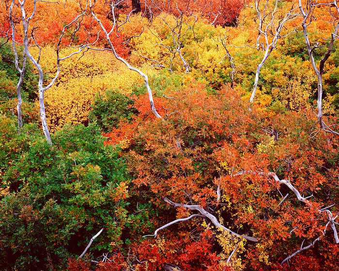 Mesa Verde National Park, Colorado, Fall Color, Scrub Oaks, photo