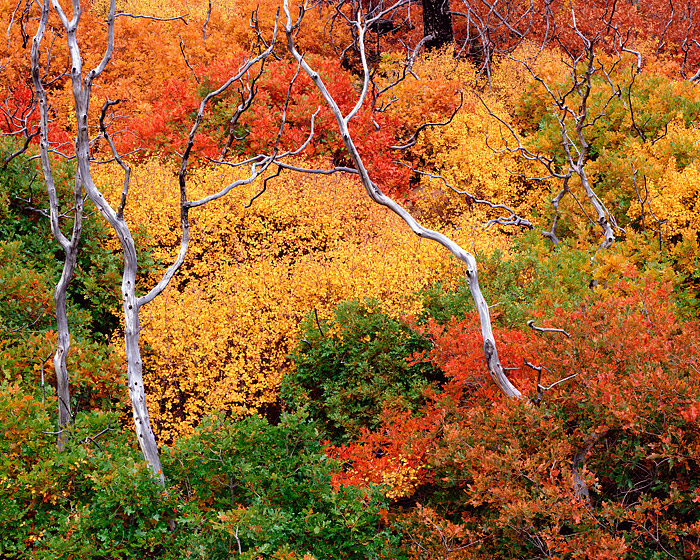 Mesa Verde National Park, Colorado, Scrub Oak, Fall Color, Wildfires, photo