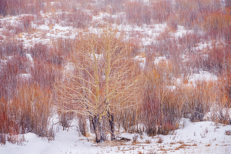 Rocky Mountain National Park,Colorado,Mill Creek,Hollowell Park,Aspens,Willows,Red,Estes Park,Bear Lake Road,RMNP,Snow,March,winter,spring,trees,photograph,landscape,aspen, photo