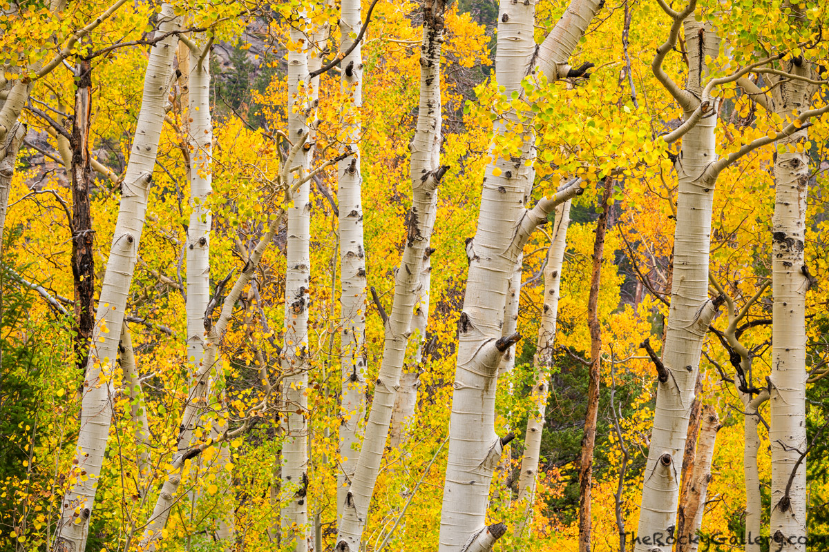 Mill Creek,Hollowell Park,Fall,September,Aspens,Autumn,Trees,Estes Park,Bear Lake Road,RMNP,Colorado,Rocky Mountain National Park,Landscape,Photography, photo