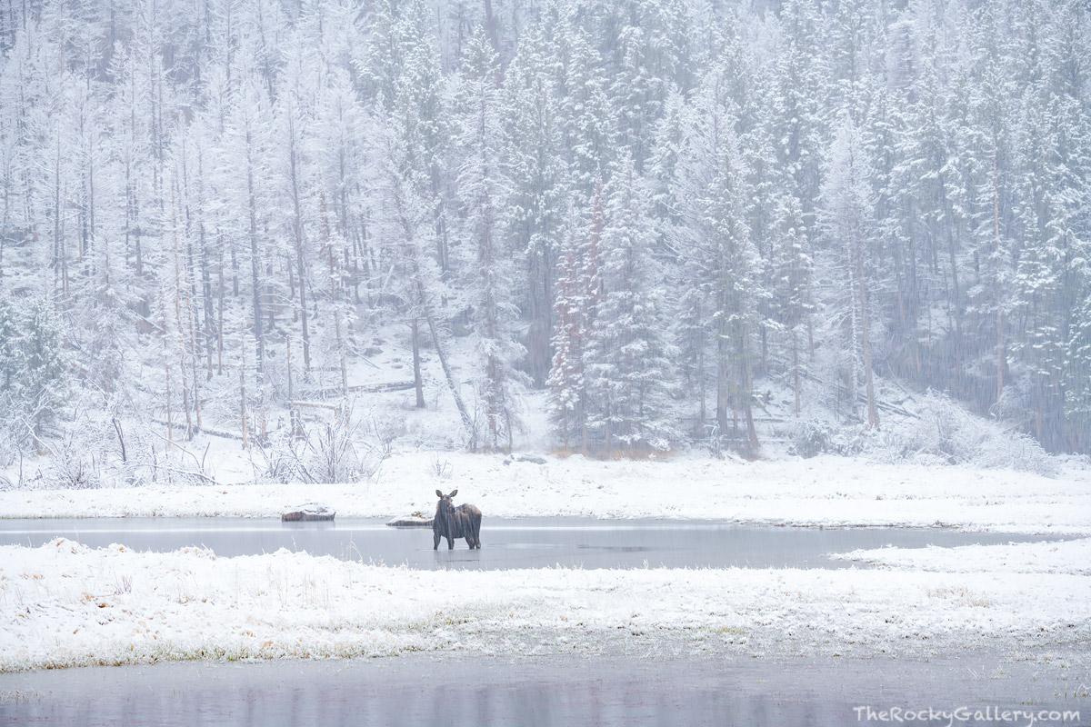 Cub Lake,Moraine Park,Moose,Wildlife,Landscape,Photography,May,RMNP,Colorado,Rocky Mountain National Park,Snow,Storm,Estes Park,Bear Lake Road, photo