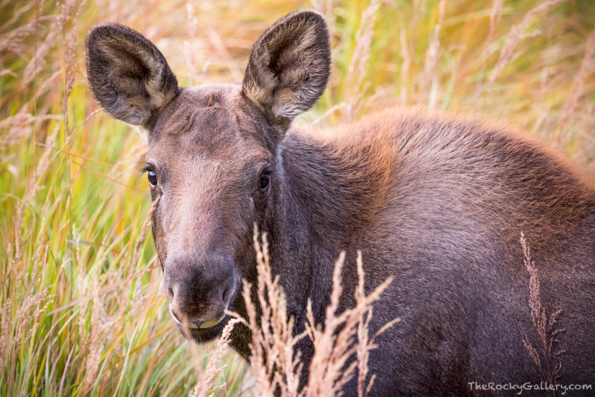 Moose,Calf,East Inlet,RMNP,Grand Lake,September,Wildlife,Colorado,Rocky Mountain National Park,baby,West Side,photography,mammals , photo