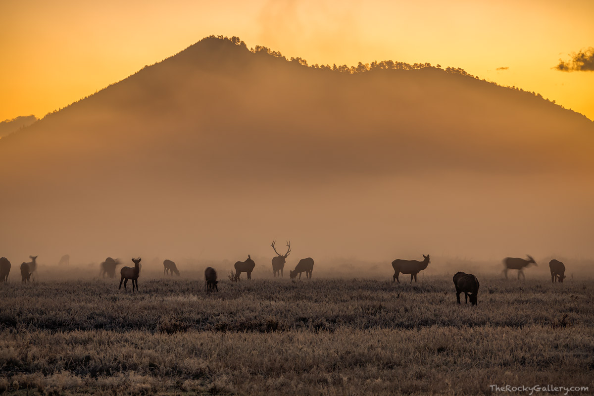 Elk,Rut,Moraine Park,Bear Lake Road,Sunrise,September,Fall,Fog,Estes Park,Colorado,RMNP,Rocky Mountain National Park,Landscape,Photography,Wildlife,bugle, photo